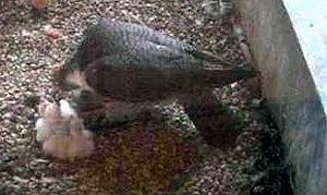 falcons-070513-300w