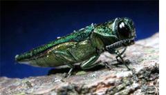 Emerald ash borer beetle. U.S. Forestry Service photo.