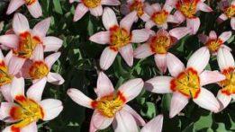 tulipsimg_2204-110429