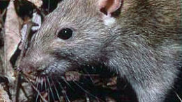 brown-rat-natlparksvc