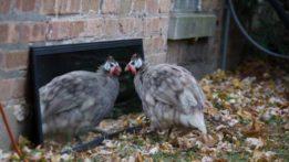 karl-the-guinea-hen