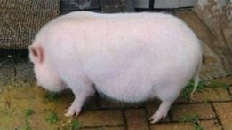 pot-bellied-pig-evanston-animal-shelter-201706