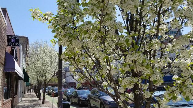 flowering-trees-1000-block-davis-street-20180507_111313
