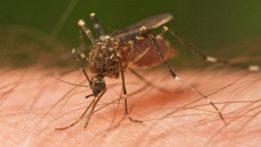 mosquito-wikipedia