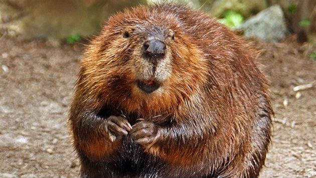 beaver-wikipedia-20181205
