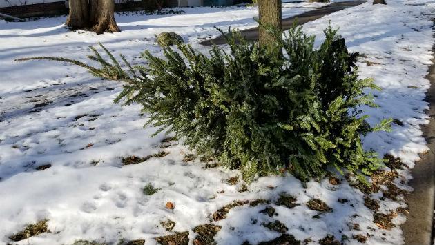 christmas-treet-on-parkway-1700-block-wesley-20180108_130335