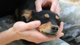 dog-doberman-puppy-cuddled-wikipedia-631x355